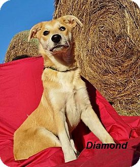 Collie Mix Dog for adoption in East Hartford, Connecticut - Diamond 2 in CT