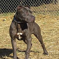 Pit Bull Terrier Mix Dog for adoption in Batavia, Ohio - Virgil