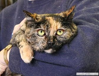 Domestic Shorthair Cat for adoption in Westchester, California - Tiboo