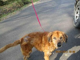 Chow Chow Mix Dog for adoption in Conroe, Texas - CLARISSA