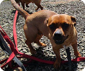 Corgi/Shepherd (Unknown Type) Mix Dog for adoption in Tillamook, Oregon - Greta