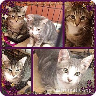 American Shorthair Kitten for adoption in Marlton, New Jersey - Joey