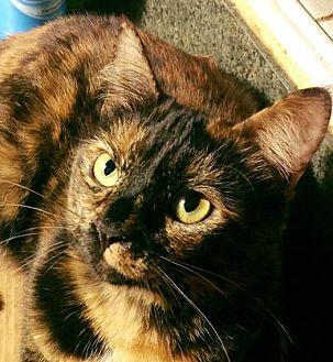 Domestic Shorthair Cat for adoption in Burlington, North Carolina - DAPHNE