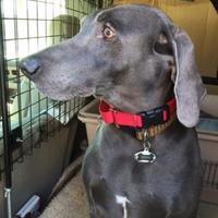 Weimaraner Mix Dog for adoption in Manassas Park, Virginia - Ashe