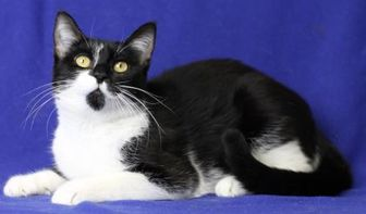 Domestic Shorthair/Domestic Shorthair Mix Cat for adoption in Blackwood, New Jersey - Kim