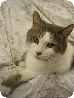 Domestic Shorthair Cat for adoption in Tully, New York - Baby