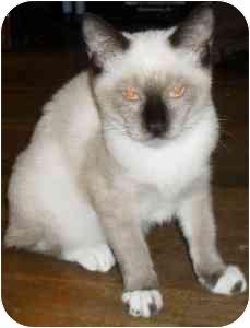 Siamese Kitten for adoption in Jacksonville, Florida - Thai