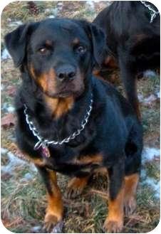Rottweiler Dog for adoption in Westford, Massachusetts - Daphne