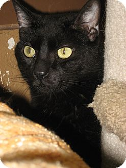 Domestic Shorthair Cat for adoption in Wheaton, Illinois - Grover