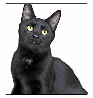 Domestic Shorthair Cat for adoption in Newland, North Carolina - Isis