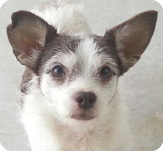 Chihuahua/Affenpinscher Mix Dog for adoption in Orlando, Florida - Miley