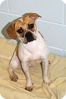Beagle/Hound (Unknown Type) Mix Dog for adoption in Muskegon, Michigan - Tinker