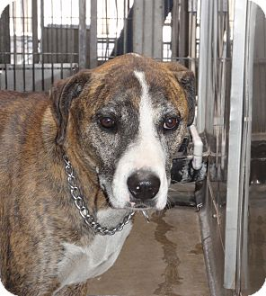 Hound (Unknown Type) Mix Dog for adoption in Corona, California - Chevy