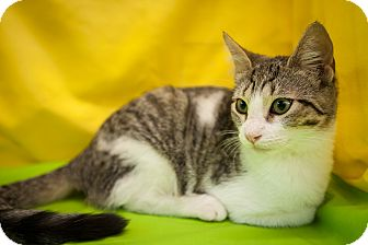 Domestic Shorthair Kitten for adoption in Jersey City, New Jersey - Rocket