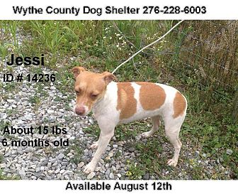Jack Russell Terrier Mix Puppy for adoption in Wytheville, Virginia - Jessi - URGENT
