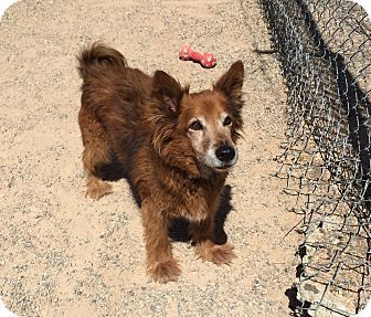 Corgi Mix Dog for adoption in Chino Valley, Arizona - Bibi