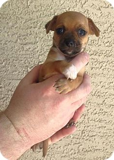 Chihuahua/Rat Terrier Mix Puppy for adoption in Phoenix, Arizona - Sophia