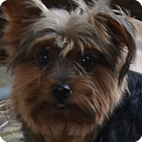 Adopt A Pet :: Dolly - Westfield, IN