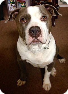 American Bulldog Mix Dog for adoption in Santa Ana, California - Bart (ARSG)
