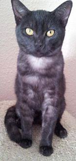 Domestic Shorthair Cat for adoption in Rosamond, California - Susy