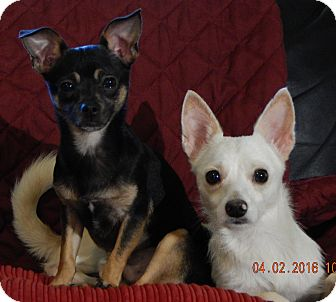 Chihuahua Dog for adoption in Williamsport, Maryland - BoomBoom(5 lb) Sweet & Loving!