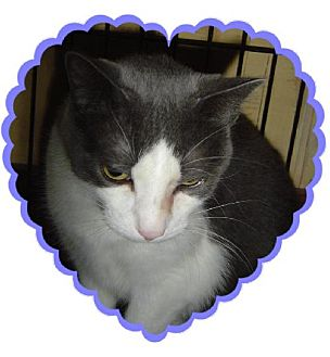 Domestic Shorthair Cat for adoption in Island Heights, New Jersey - meatball