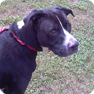 Labrador Retriever/American Bulldog Mix Dog for adoption in Bunnell, Florida - Bolt
