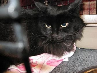 Domestic Longhair Cat for adoption in Logan, Utah - Booda
