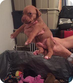 Labrador Retriever Mix Puppy for adoption in Burlington, New Jersey - Francesca
