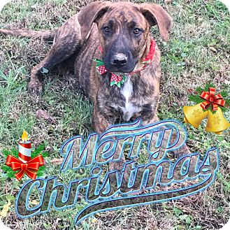 Plott Hound/Labrador Retriever Mix Dog for adoption in siler city, North Carolina - Jan