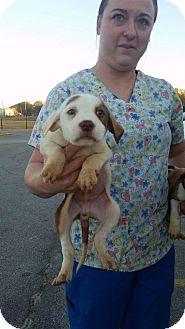 Labrador Retriever Mix Puppy for adoption in Patterson, New York - Casper