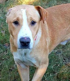 Labrador Retriever Mix Dog for adoption in Enfield, Connecticut - Evander