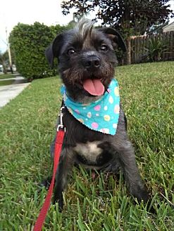 Terrier (Unknown Type, Medium)/Standard Schnauzer Mix Dog for adoption in Davie, Florida - Wizzard