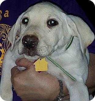 Labrador Retriever Mix Puppy for adoption in Deer Park, New York - Norman