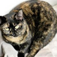 Domestic Shorthair/Domestic Shorthair Mix Cat for adoption in Richmond, Indiana - Tori