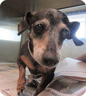 Dachshund Mix Dog for adoption in North Richland Hills, Texas - Katie