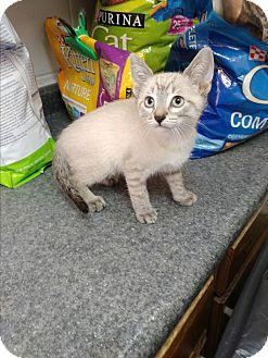 Siamese Kitten for adoption in Umatilla, Florida - Ladamier