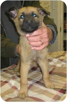 Shepherd (Unknown Type) Mix Puppy for adoption in Florence, Indiana - Paul