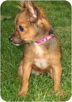 Pomeranian Mix Puppy for adoption in Poway, California - BLITZ