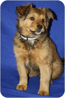 Golden Retriever/Collie Mix Puppy for adoption in Broomfield, Colorado - Champ