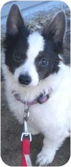 Papillon Mix Puppy for adoption in Charles City, Iowa - Wilma