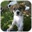 Photo 1 - Beagle/Rat Terrier Mix Puppy for adoption in West Warwick, Rhode Island - Darling Beagle Mix Puppies!