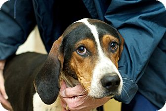 Treeing Walker Coonhound Dog for adoption in Cincinnati, Ohio - Slim Jim: Obedience Trained!
