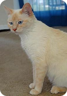 Domestic Mediumhair Cat for adoption in Hopkinsville, Kentucky - Luna - Courtesy Listing