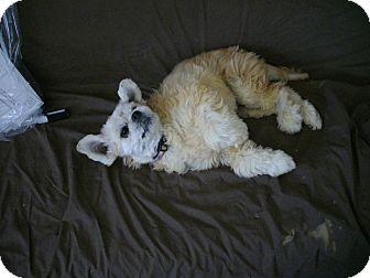 Lhasa Apso Mix Dog for adoption in Sheridan, Oregon - Elsee