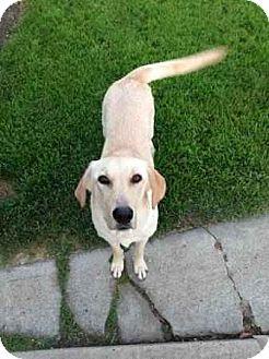 Labrador Retriever Mix Dog for adoption in Long Beach, California - Sarah