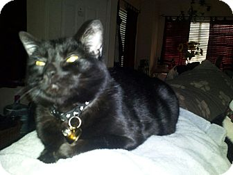 Bombay Cat for adoption in Scottsdale, Arizona - Matty (courtesy post)