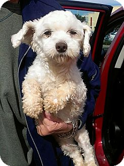 Maltese/Poodle (Miniature) Mix Dog for adoption in St. Petersburg, Florida - Ivory