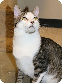Domestic Shorthair Cat for adoption in Plano, Texas - TREY - PLAYFUL & FUN!!