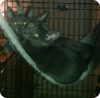 Russian Blue Kitten for adoption in New York, New York - (FLUSHING)Brothers